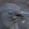 七色の鳴き声を自由自在に操る鳥、コトドリの絶技!