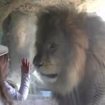 楽しそうな幼女と激オコなライオン